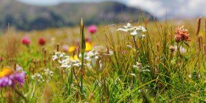 fleurs de montagne 300x150 - 7 métaphores simples qui changeront votre façon de penser